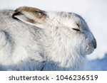 Stock photo white mountain hare lepus timidus these hares are native to the british isles the hares in 1046236519