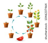 plant growth stages. tomato... | Shutterstock .eps vector #1046237464