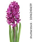 Purple Hyacinth Flower Isolate...