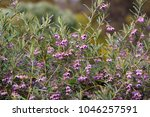 dainty mauve blooms of... | Shutterstock . vector #1046257591