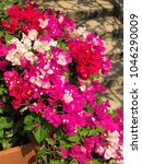 Small photo of A gentle, bright, purple Bougainvillea flower. Beautiful wallpaper on the any background and the decoration of any article.