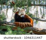 Cute Red Panda Sitting On The...