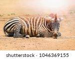 zebra. wild animals on the... | Shutterstock . vector #1046369155