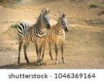 zebra. wild animals on the... | Shutterstock . vector #1046369164