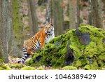 Siberian Tiger Panthera Tigris - Fine Art prints