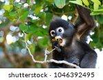 little leaf monkeys or dusky... | Shutterstock . vector #1046392495