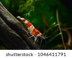 red crystal bee shrimp in... | Shutterstock . vector #1046411791