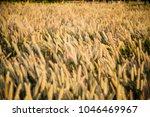 warm afternoon dog tail grass | Shutterstock . vector #1046469967