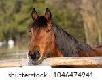 portrait of a brown mare in...   Shutterstock . vector #1046474941