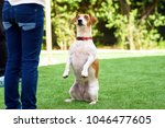 Small photo of Portrait Funny Dog sitting on hind legs begging with eyes in praying gaze. Cute jack Russell terrier with wide-eyed, gazed on the owner, outside.