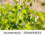 Green Flowers Of Lunaria Plant...