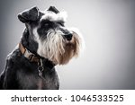 miniature schnauzer with full... | Shutterstock . vector #1046533525