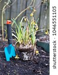 Small photo of Overblown daffodil Narcissus Tete a Tete) with garden trowel to scoop the soil for planting. Recycle the indoor flower bulbs - don't throw it away, put it in the garden!