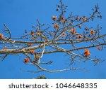 red silk cotton  bombax ceiba ... | Shutterstock . vector #1046648335