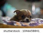 Stock photo a little chihuahua eye to camera 1046658841
