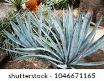 blue agave or tequila agave ... | Shutterstock . vector #1046671165