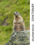 Small photo of Alpine marmot Hohe Tauern National Park, Austria, Europe