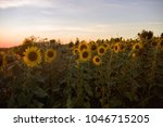 field with sunflowers in sunset ... | Shutterstock . vector #1046715205