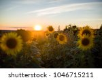 field with sunflowers in sunset ... | Shutterstock . vector #1046715211