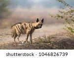 an adult striped hyena  hyaena... | Shutterstock . vector #1046826739