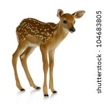Fawn   White Tail Standing...