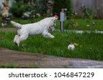 purebred adult west highland... | Shutterstock . vector #1046847229