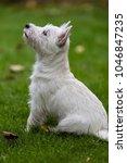 purebred adult west highland... | Shutterstock . vector #1046847235