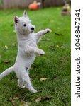 purebred adult west highland... | Shutterstock . vector #1046847241
