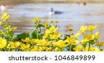 blooming caltha palustris ... | Shutterstock . vector #1046849899