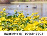 blooming caltha palustris ... | Shutterstock . vector #1046849905