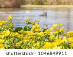 blooming caltha palustris ... | Shutterstock . vector #1046849911