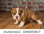 cute  adorable english bulldogs | Shutterstock . vector #1046853817