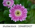 gerbera daisy blooms in garden | Shutterstock . vector #1046892427