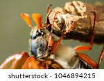 cockchafer or may bug ... | Shutterstock . vector #1046894215