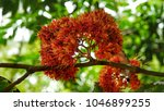 Small photo of Red Saraca Flowers