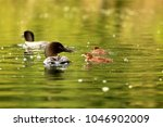loon family swimming on a lake  ...   Shutterstock . vector #1046902009