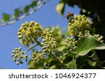 honeybee with pollen on an ivy... | Shutterstock . vector #1046924377