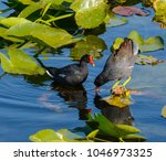 two common gallinules in a... | Shutterstock . vector #1046973325