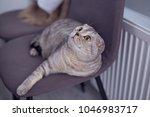 Interested Scottish Fold Cat...
