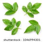 Rosehip Leaf Isolated Rose Hip - Fine Art prints