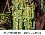 dainty sedum morganianum ... | Shutterstock . vector #1047063901
