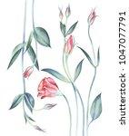 Eustoma Flowers Isolated On...
