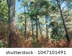 coniferous forest in the... | Shutterstock . vector #1047101491