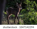 back light image of waterbuck... | Shutterstock . vector #1047142294