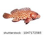 side view full body of grouper... | Shutterstock . vector #1047172585