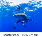 oceanic whitetip shark in...   Shutterstock . vector #1047274501