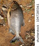 Small photo of Pacu is a common name used to refer to several species of omnivorous South American freshwater serrasalmid fish that are related to the piranha