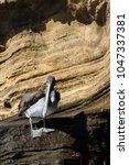 brown pelican  pelecanus...   Shutterstock . vector #1047337381
