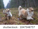Happy Rough Collie Dogs Playing ...