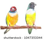 two colourful gouldian finch... | Shutterstock . vector #1047353344
